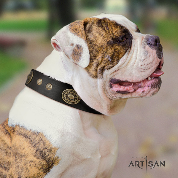 American Bulldog top notch full grain leather dog collar with embellishments for stylish walking