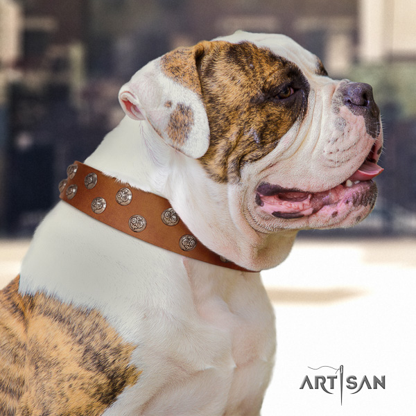 American Bulldog comfy wearing natural leather collar with stylish adornments for your doggie