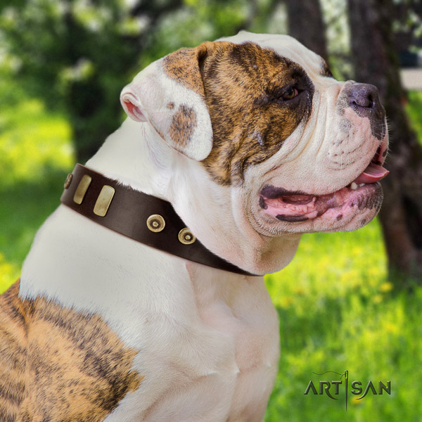 American Bulldog walking full grain leather collar with fashionable studs for your dog