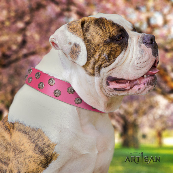 American Bulldog daily use full grain leather collar with stylish design embellishments for your dog