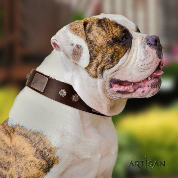 American Bulldog comfy wearing leather collar with significant embellishments for your doggie