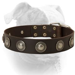 Securely riveted American Bulldog collar