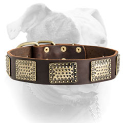 Decorated American Bulldog collar with massive brass plates