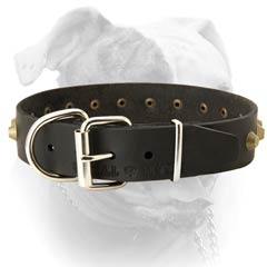 Leather American bulldog collar with nickel plated hardware