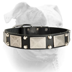 Leather American Bulldog collar decorated with massive nickel plates and studs