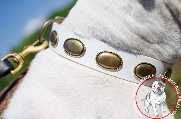 Vintage brass decorations on white American Bulldog collar