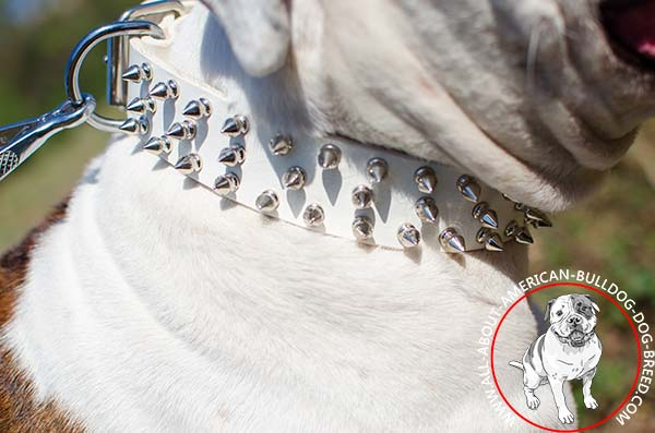 Three rows of spikes on white American Bulldog collar