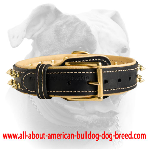Brass hardware for padded leather American Bulldog collar