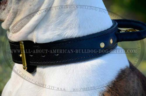 Reliable brass buckle and rivets for extra durability of leather American Bulldog collar