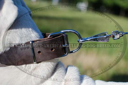 Nickel plated D-ring for American Bulldog collar