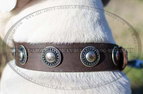 Extra wide leather collar with silver conchos for American Bulldog