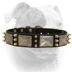 Leather American Bulldog collar secured with rivets