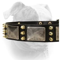 Attractive nickel plates and brass spikes for American Bulldog collar