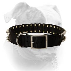 Nylon American Bulldog collar with strong nickel plated fittings