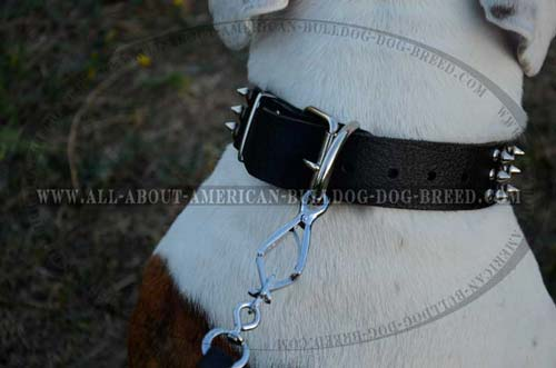 Genuine quality leather collar with nickel plated hardware for American Bulldog