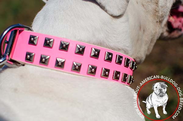 Brass decorative studs on pink American Bulldog collar