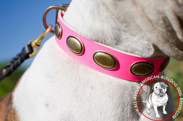 Brass ovals on gorgeous leather American Bulldog collar