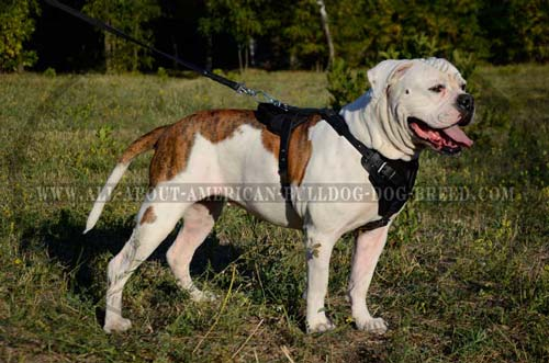 American Bulldog Walking and Training Leather Harness