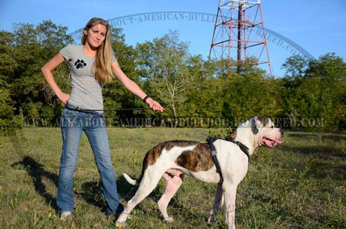 Leather Training And Walking Harness For American Bulldog