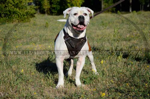 Leather Agitation Harness For American Bulldog
