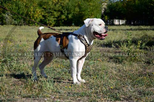 American Bulldog Everyday Walking Harness