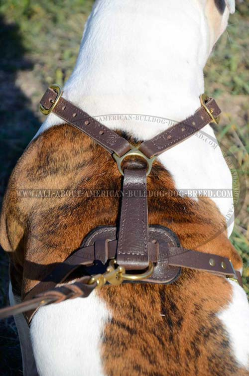 Brass fittings and padded back plate for American Bulldog harness
