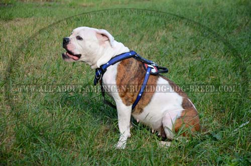Perfect fit leather American Bulldog harness