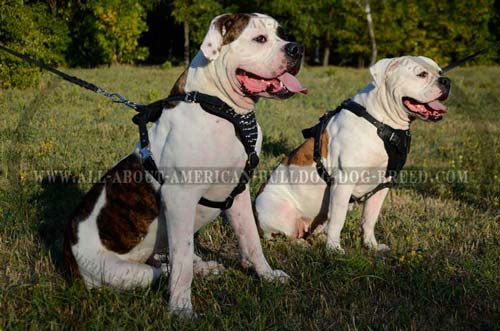 Extra wide chest plate padded leather American Bulldog harness