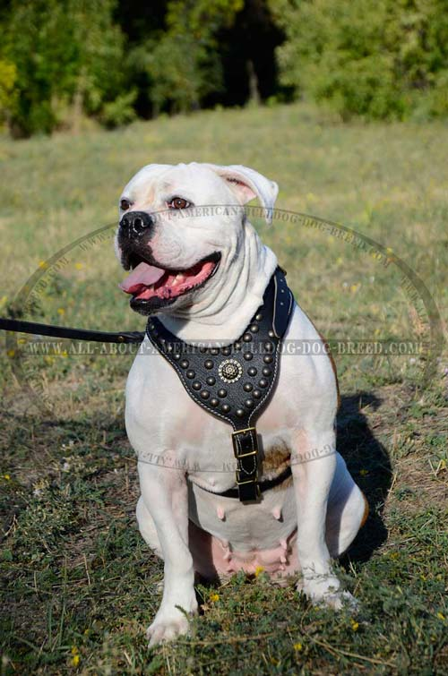 Soft genuine Nappa padding on chest plate for American Bulldog harness