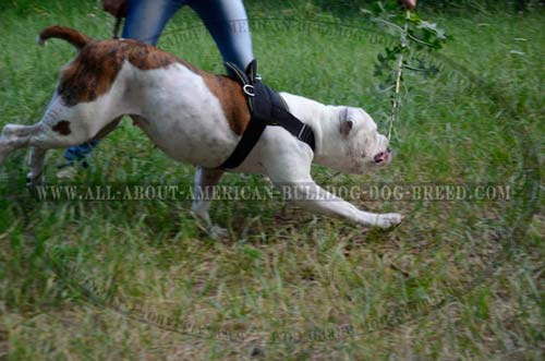 Perfect fit adjustable nylon harness for American Bulldog