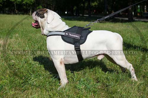 Pulling American Bulldog harness with ID-patches