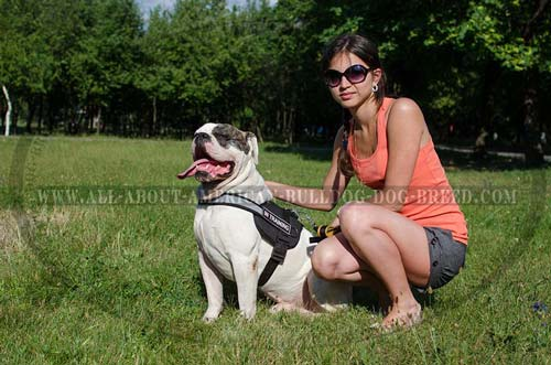 American Bulldog harness with reflective strap