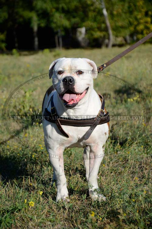 American Bulldog harness for pulling