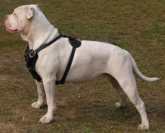 What you need to know about American Bulldog training : American