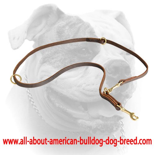 Shiny brass hardware for leather American Bulldog leash