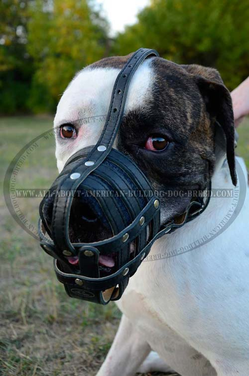 Lightweight Leather Muzzle For American Bulldog.
