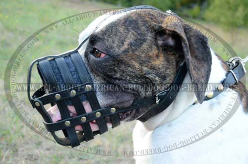Walking Everyday Leather Muzzle For American Bulldog.
