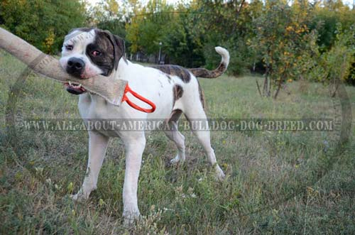 Strong everyday use training bite tug for American Bulldog