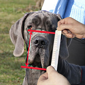 How to measure the height of snout